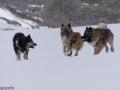 s IJslandse Honden 14