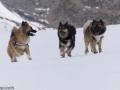 s IJslandse Honden 15