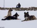 s IJslandse Honden 16