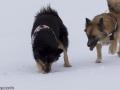 s IJslandse Honden 17