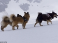 s IJslandse Honden 18