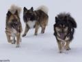 s IJslandse Honden 19