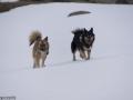 s IJslandse Honden 23