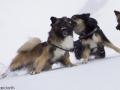 s IJslandse Honden 25