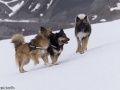 s IJslandse Honden 26