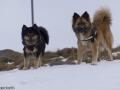 s IJslandse Honden 27