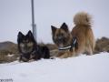 s IJslandse Honden 28