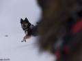 s IJslandse Honden 29