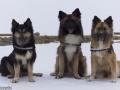 s IJslandse Honden 30