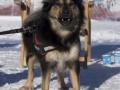 IJslandse Honden Wintersport Oostenrijk 2016 (2)