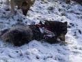 IJslandse Honden Wintersport Oostenrijk 2016 (21)