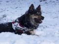 IJslandse Honden Wintersport Oostenrijk 2016 (22)