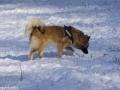 IJslandse Honden Wintersport Oostenrijk 2016 (24)
