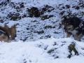 IJslandse Honden Wintersport Oostenrijk 2016 (25)