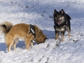 IJslandse Honden Wintersport Oostenrijk 2016 (27)