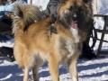 IJslandse Honden Wintersport Oostenrijk 2016 (3)