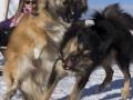IJslandse Honden Wintersport Oostenrijk 2016 (5)
