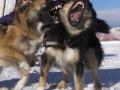 IJslandse Honden Wintersport Oostenrijk 2016 (6)