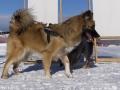 IJslandse Honden Wintersport Oostenrijk 2016 (9)