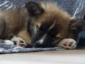 IJslandse Hond Ylfa 9,5 weken oud