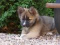 IJslandse Hond Ylfa 10 weken oud