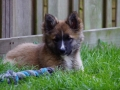 IJslandse Hond Ylfa 12 weken oud