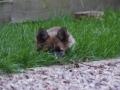 IJslandse Hond Ylfa 13,5 weken oud
