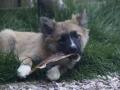 IJslandse Hond Ylfa 14 weken oud