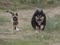 IJslandse Hond Ylfa 15 weken oud
