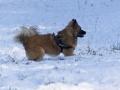 IJslandse Hond Ylfa 10 maanden oud