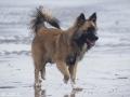 IJslandse Hond Ylfa 6 maanden oud