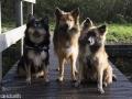 IJslandse Hond Ylfa 6,5 maanden oud