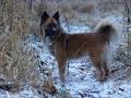 IJslandse Hond Ylfa 1,5 jaar oud
