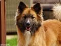 IJslandse Hond Ylfa bijna 2 jaar oud
