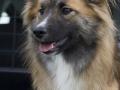 IJslandse Hond Ylfa 11 maanden oud