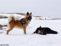 IJslandse Hond Ylfa 2 jaar oud