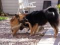 IJslandse Hond Ylfa 1 jaar oud