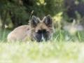 IJslandse Hond Ylfa 16 weken oud