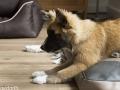 IJslandse Hond Ylfa 17 weken oud