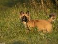 IJslandse Hond Ylfa 19 weken oud