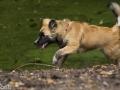 IJslandse Hond Ylfa 20 weken oud