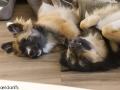 IJslandse Hond Ylfa 5 maanden oud