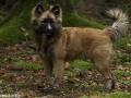 IJslandse Hond Ylfa 5,5 maanden oud