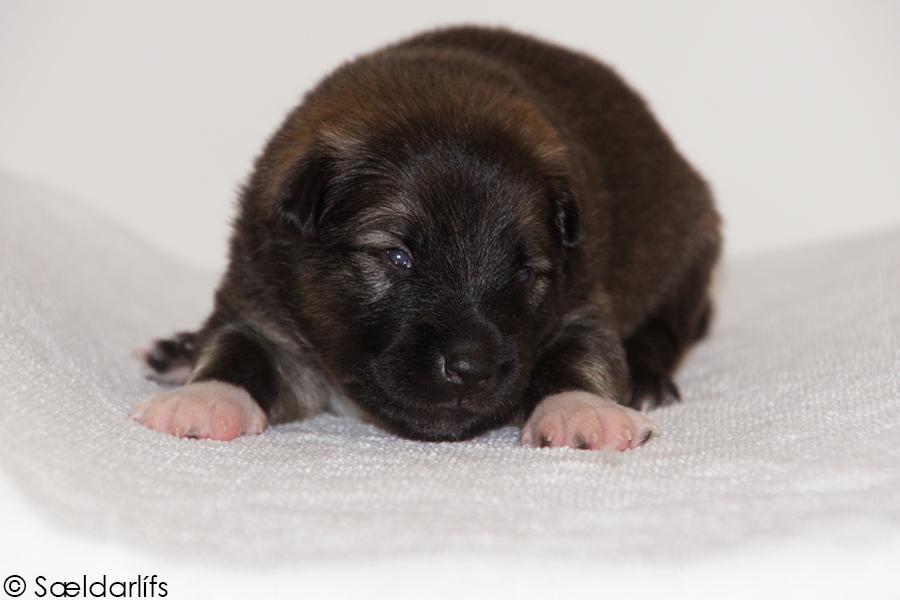 s Pup 4 Baldur 2 weken oud (1)