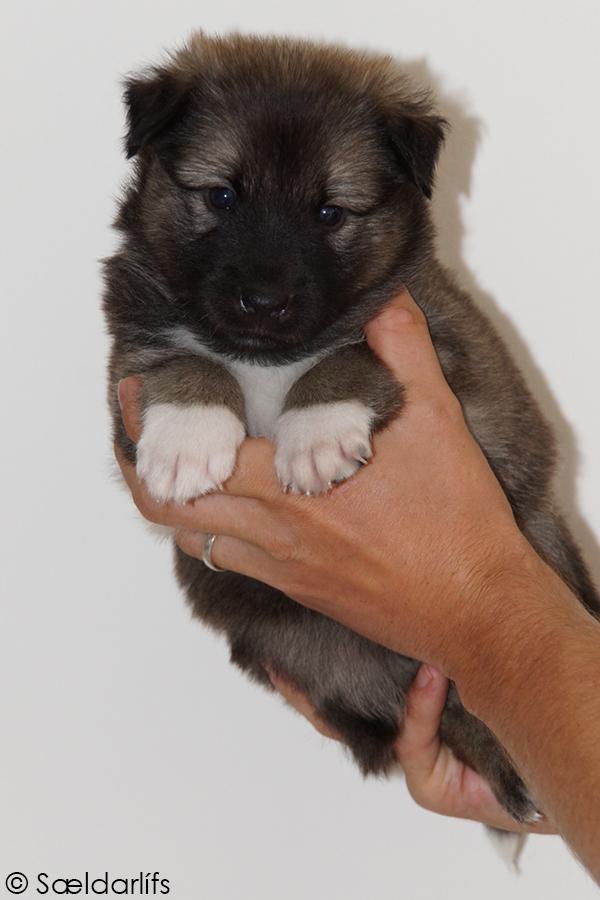s Pup 4 Baldur 4 weken oud